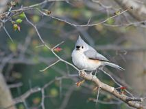 Tufted Titmouse on the Tree. A Tufted Titmouse Standing on the Tree in Indiana royalty free stock images