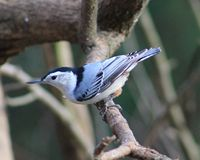 White-breasted nuthatch. Such a beauty - White-breasted nuthatch Stock Image