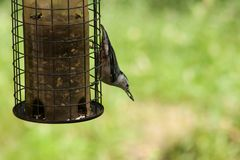Nuthatch on a feeder Royalty Free Stock Photo