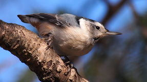 White Breasted Nuthatch On Tree Branch Royalty Free Stock Photo