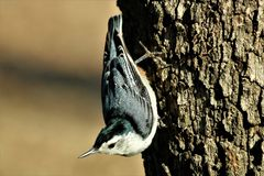 White-Breasted Nuthatch on Tree. Close up of a beautiful white-breasted nuthatch, as he walks upside down on the trunk of a tree, with a blurred light brown royalty free stock photos