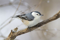 White-breasted nuthatch on a tree in the winter season in Canada. Stock Photography