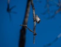 White breasted nuthatch Royalty Free Stock Photography