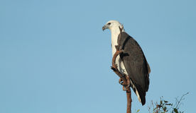 White-breasted Sea Eagle Royalty Free Stock Images