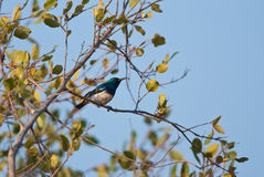 White-breasted Sunbird Stock Photo