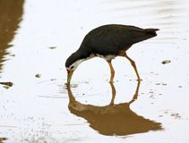 White-breasted waterhen Royalty Free Stock Photos