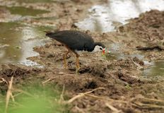 White-breasted waterhen Royalty Free Stock Images