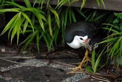 White-breasted waterhen. A parent white breasted waterhen feeding its chick Stock Images