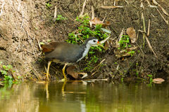 White-breasted Waterhen Stock Photos