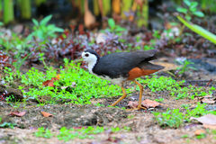 White-breasted Waterhen Royalty Free Stock Image