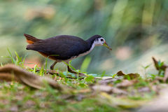 White breasted Waterhen (Amaurornis phoenicurus) walking Royalty Free Stock Photography
