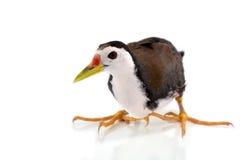 White-breasted Waterhen bird Stock Photo