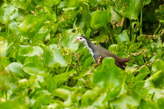 White-breasted Waterhen bird Royalty Free Stock Photo