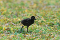 White-breasted Waterhen(juvenile) Stock Photos