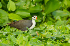 White-breasted Waterhen Stock Photography
