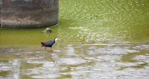 Waterhen in the pond stock images