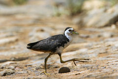 White-breasted waterhen in Tangalle, Sri Lanka Stock Image
