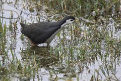 White-breasted waterhen who walks along the shore in shallow wat. Er in search of food Stock Images