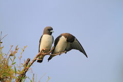 White-breasted Woodswallow Royalty Free Stock Photography