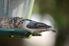 White breastfed nuthatch Royalty Free Stock Images