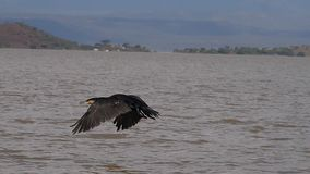 White-Breated Cormorant, phalacrocorax carbo lucidus, Adult in Flight, Baringo Lake in Kenya. Slow motion stock footage