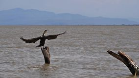 White-Breated Cormorant, phalacrocorax carbo lucidus, Adult taking off, in Flight, Baringo Lake in Kenya,. Slow motion stock footage