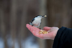 White Breated Nuthatch. The white-breasted nuthatch is a small songbird of the nuthatch family which breeds in old-growth woodland across much of temperate North Stock Photos