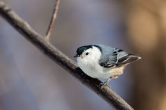 White Breated Nuthatch. The white-breasted nuthatch is a small songbird of the nuthatch family which breeds in old-growth woodland across much of temperate North Stock Photography