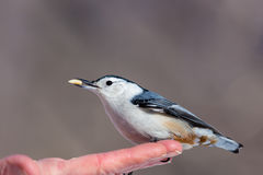 White Breated Nuthatch. The white-breasted nuthatch is a small songbird of the nuthatch family which breeds in old-growth woodland across much of temperate North Royalty Free Stock Photo