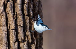 White Breated Nuthatch. The white-breasted nuthatch is a small songbird of the nuthatch family which breeds in old-growth woodland across much of temperate North Royalty Free Stock Photos