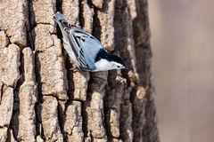 White Breated Nuthatch. The white-breasted nuthatch is a small songbird of the nuthatch family which breeds in old-growth woodland across much of temperate North Royalty Free Stock Images