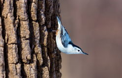 White Breated Nuthatch. The white-breasted nuthatch is a small songbird of the nuthatch family which breeds in old-growth woodland across much of temperate North Stock Photo