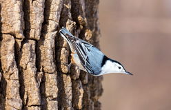 White Breated Nuthatch. The white-breasted nuthatch is a small songbird of the nuthatch family which breeds in old-growth woodland across much of temperate North Stock Image
