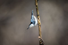 White Breated Nuthatch. The white-breasted nuthatch is a small songbird of the nuthatch family which breeds in old-growth woodland across much of temperate North Stock Images