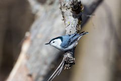 White Breated Nuthatch. The white-breasted nuthatch is a small songbird of the nuthatch family which breeds in old-growth woodland across much of temperate North Royalty Free Stock Image