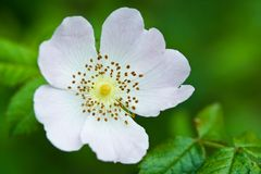 White briar flower Royalty Free Stock Photos