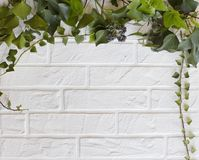 White Brick wall with leaving green ivy branches royalty free stock images