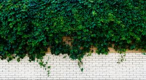 White brick wall with green Ivy. In light Royalty Free Stock Image