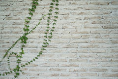 White brick wall. With green plant Royalty Free Stock Image