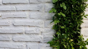 White brick wall with plant Royalty Free Stock Photography