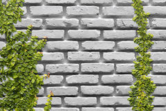 White brick wall with vine Stock Photo