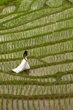 White bridal dress with beautiful romantic young woman in terraced paddy field Stock Photography