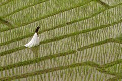 White bridal dress with beautiful romantic young woman in terraced paddy field Royalty Free Stock Images