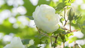 White brier rose flower on bush stock video footage