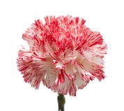 White and bright pink carnation isolated Stock Images