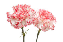 White and bright pink carnation isolated Royalty Free Stock Images