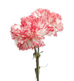 white and bright pink carnation isolated Stock Photo