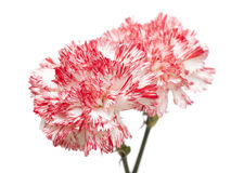 white and bright pink carnation isolated Royalty Free Stock Image