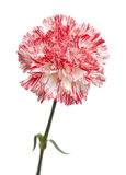 white and bright pink carnation isolated Royalty Free Stock Photos