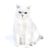 White british cat. Sitting. Over white background Royalty Free Stock Photos